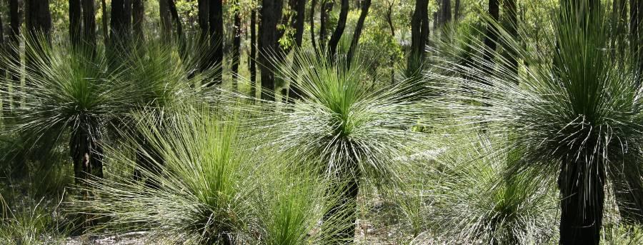 about grasstrees australia