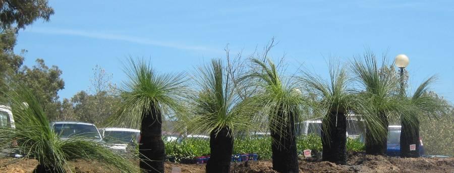 Planting Care Grasstrees Australia