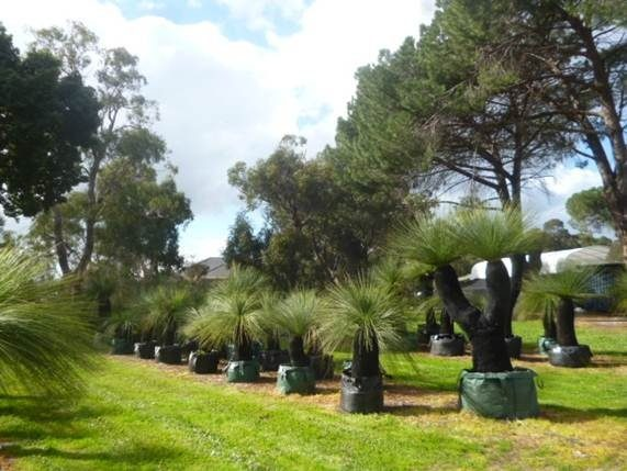 grasstrees display